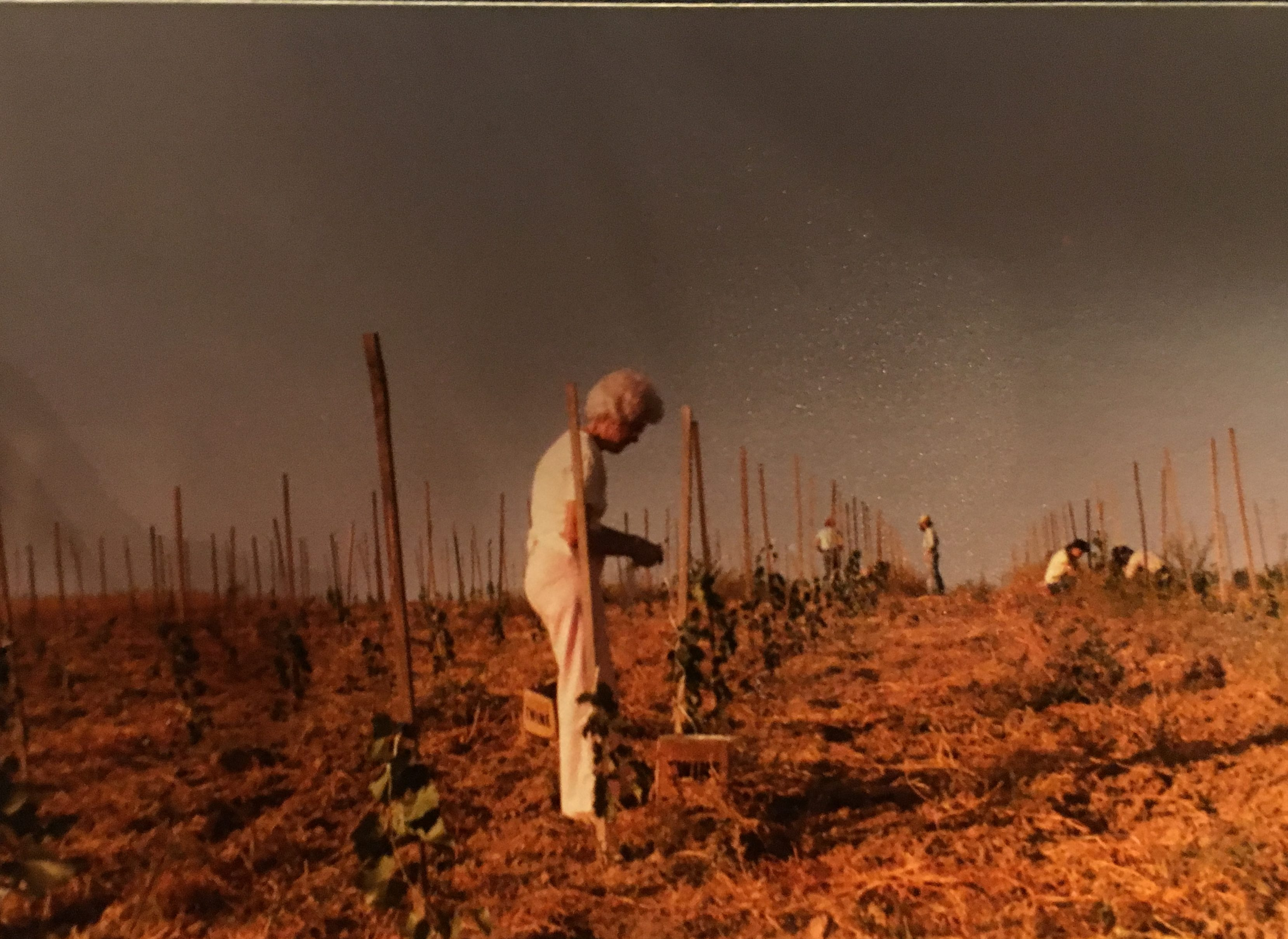 Tending to the vines (in approximately 1979)