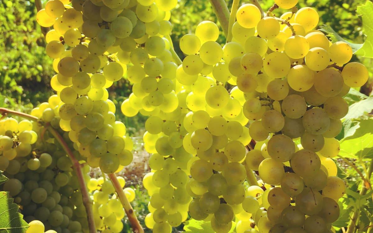 Seyval Blanc grapes at Blumenhof Vineyards in Missouri