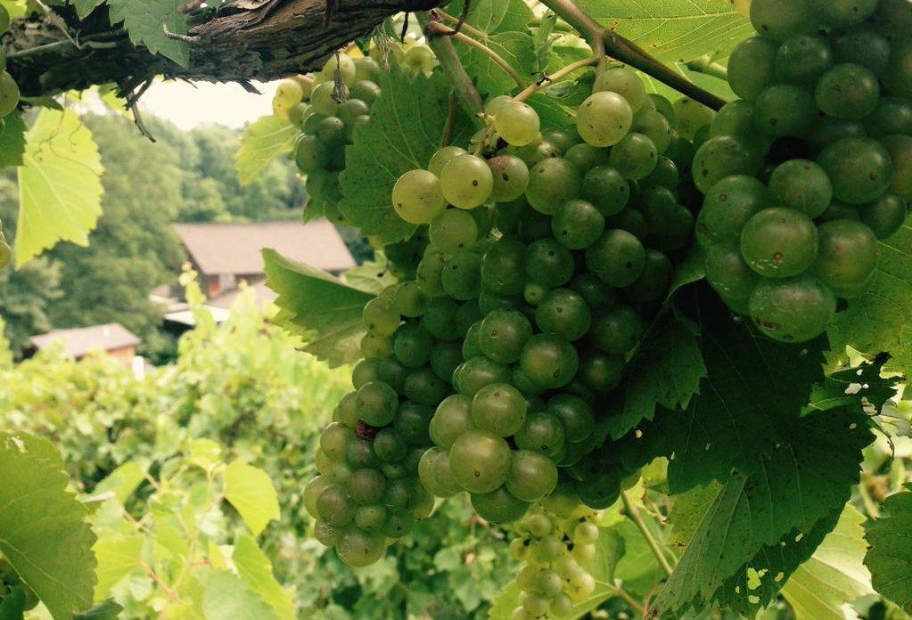 Vignoles grapes at Blumenhof Vineyards in Missouri